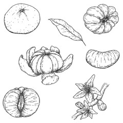 Set of vector hand drawn mandarine. Whole, sliced pieces, half, leaf and seed sketch. Tropical summer fruit engraved vintage style illustration. Design elements for branding package, textile.
