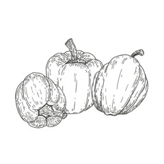 Vector hand drawn sweet peppers. Natural eco food engraved vintage style illustration. Design farm market product.