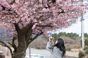 Traveler female is using camera take a photo of cherry blossoms tree on vacation