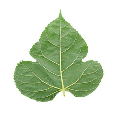 Mulberry leaves isolated on white background