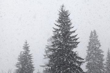 Heftiger Schneeschauer im Fichtenwald