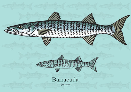 Barracuda. Vector illustration for artwork in small sizes. Suitable for graphic and packaging design, educational examples, web, etc.