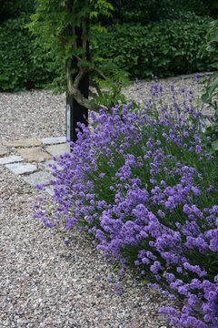 Lavandula angustifolia Hitcote Blue im Beet