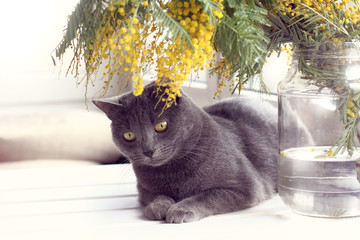 post-holiday relaxation in the spring time/ cat resting on a table under a bouquet of mimosa against the window