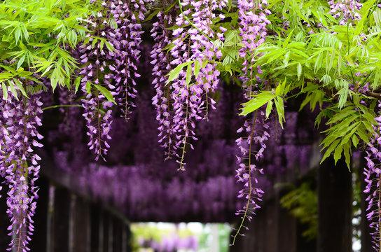 wisteria ceiling, Kyoto Japan 藤棚 日本