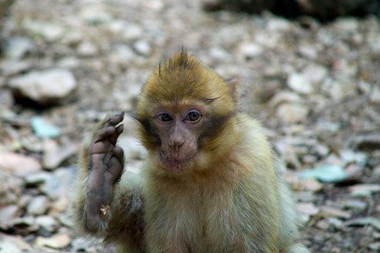 monkey foot wave hand berber baby morocco