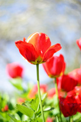 Red tulips flowers.