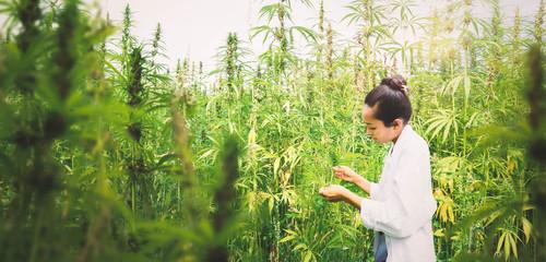 Prüfende Wissenschaftlerin in einem medizinisches Cannabis Feld