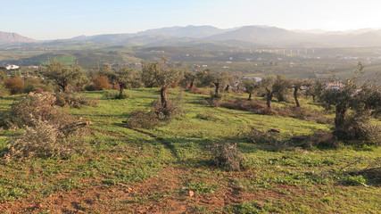 Spring pruning of Olive Trees