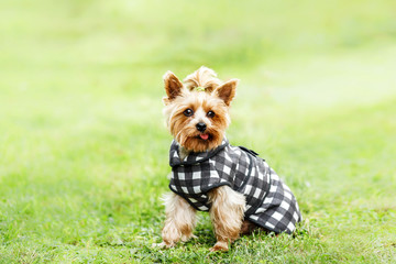close up portrait of pretty sweet small little dog Yorkshire terrier in coat dress  outdoor dress, jacket on the spring sunny summer background