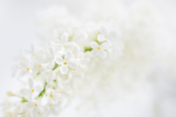 Lilac (Syringa) flowers on white background. Place for text.