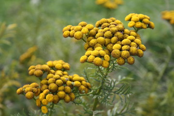 Tansy (Tanacetum vulgare) on blurry background.