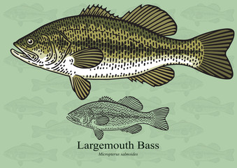 Largemouth Bass. Vector illustration for artwork in small sizes. Suitable for graphic and packaging design, educational examples, web, etc.