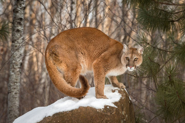 Tuinposter Puma Adult Female Cougar (Puma concolor) Crouches on Snow Covered Rock