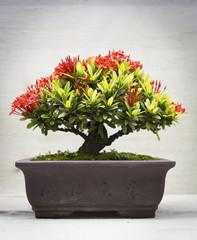 Ixora bonsai in clay pot
