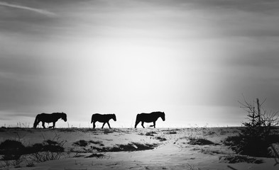 Horses walking on top of snowy mountain. Black and white photography