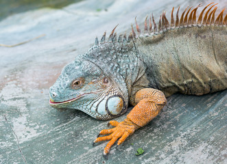 Iguana from South America
