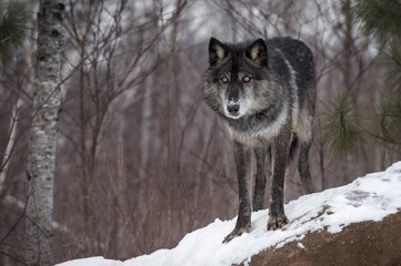 Black Phase Grey Wolf (Canis lupus) Stares Out from Atop Rock