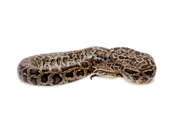 Burmese python on white background