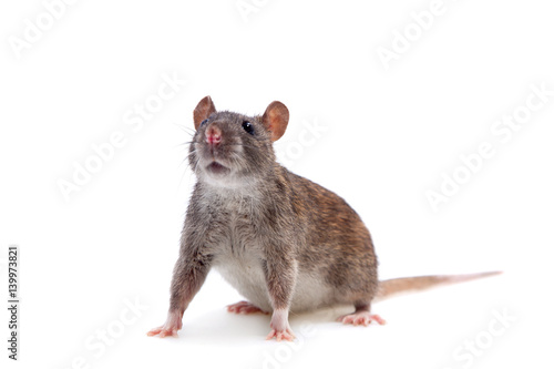 Common Rat on white