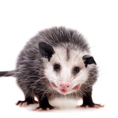 The Virginia opossum, Didelphis virginiana, on white