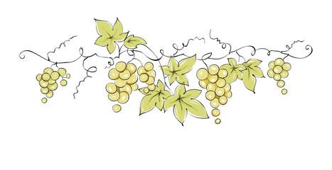 Design elements -- vine / Color vector illustration, green grapes --  drawing, sketch Fototapete