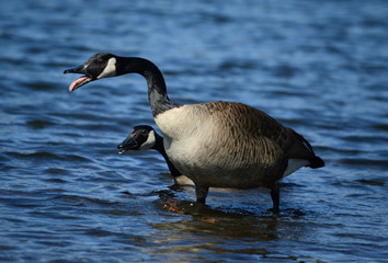 Tongue out/ Canada geese screaming
