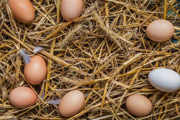 Some chicken eggs lying in the hay