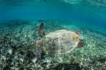 Hawksbill Sea Turtle in Shallow Water