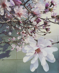 Cherry blossom against wall