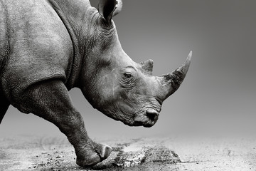 Wall Mural - Rhino close up while mobile in Pilanesberg National Park. Fine art, monochrome. Rhinocerotidae