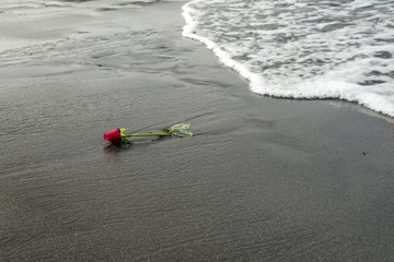 One red rose on the black sand beach of the Atlantic Ocean
