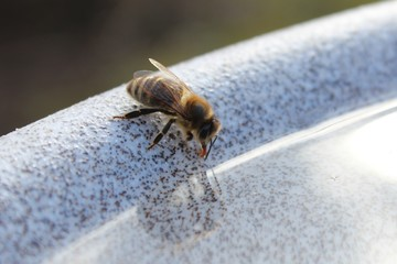 A thirsty bee is drinking from a water bowl
