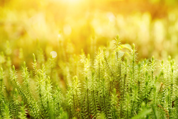 Abstract natural sunny background with green moss in the forest. Seasonal spring eco concept