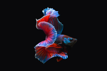 Thailand  fighting fish, isolated on black background. Capture the moving moment of siamese fighting fish.