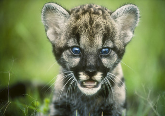 Photo sur Aluminium Puma Florida Panther cub