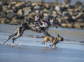 Harlequin Great Dane and French Bulldog run and play together on beach