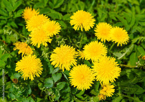 Yellow dandelion flowers or Taraxacum officinale