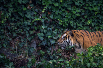 Sumatran Tiger Pacing Through Leaves Horizontal with Copy Space