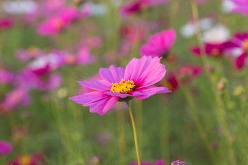 Beautiful Pink Cosmos Flower in North of Thailand