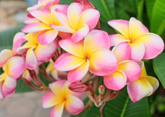 Plumeria flower pink and white frangipani tropical flower, plumeria flower blooming on tree, spa flower