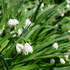 Leucojum - small white bell shaped flower with green dot on tip of petal