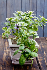 Wall Mural - Piss off plant, Plectranthus caninus
