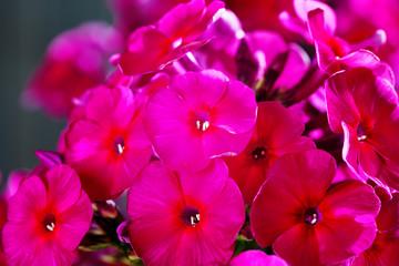 Fototapete - Phlox flower, pink