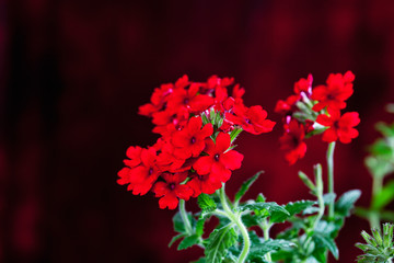 Wall Mural - Red verbena