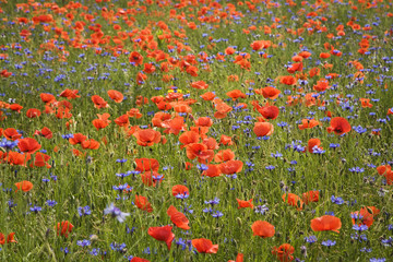 Wall Mural - Red poppies and corn flowers in field