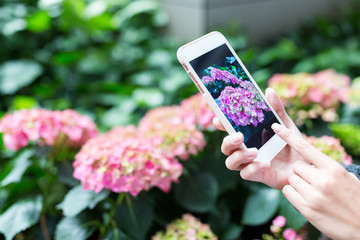 Woman taking photo on Hydrangea by cellphone
