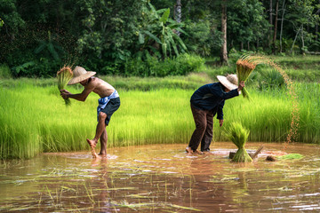 Thai Farmer Family Working in farming With the removal of green seedlings. To be planted in rice fields.