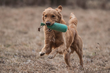 Working Golden Retriever in action