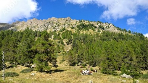 cows in the mountains fotolia com の ストック写真とロイヤリティ